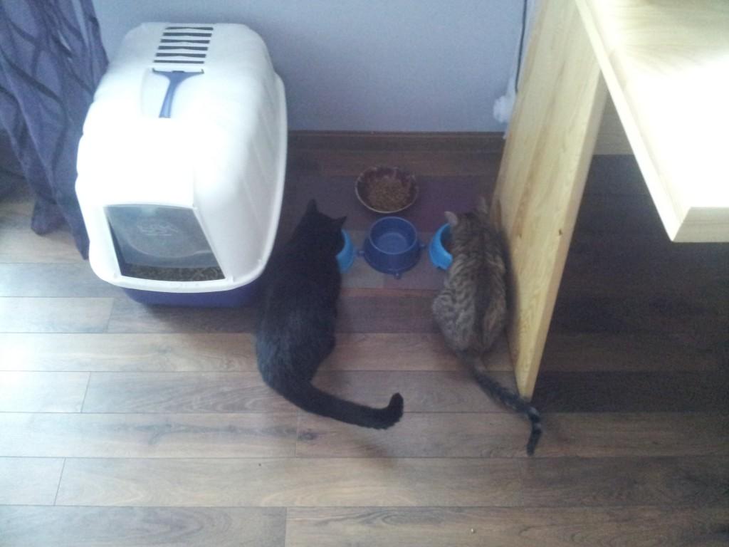 Pierwsze lody przełamane - kotki już się nie tłuką podczas jedzenia