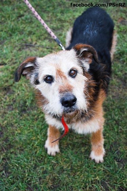 Pies Szorściak - najstarszy z naszych podopiecznych, złapany w Pruszkowie, gotowy do adopcji